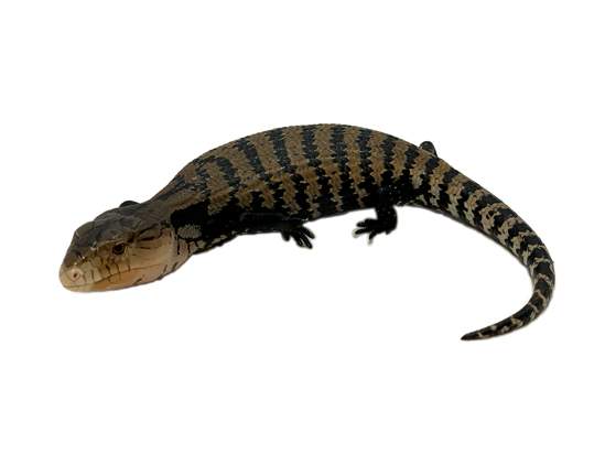 Picture of CB Halmahera Blue Tongue Skink Baby